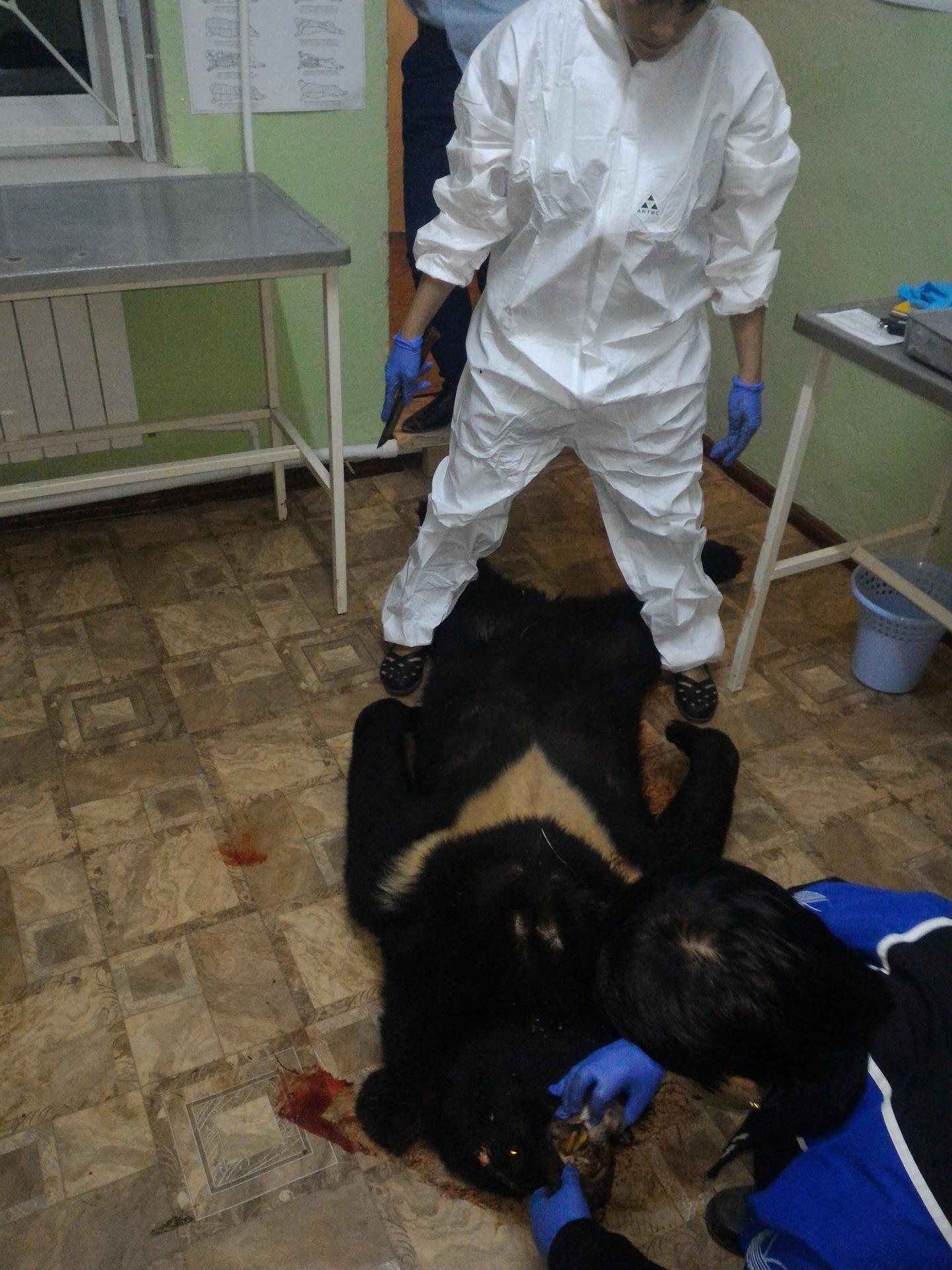 Вынуждено убитый Гималайский медведь
