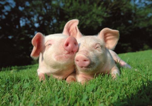 О вакцинации против классической чумы свиней!